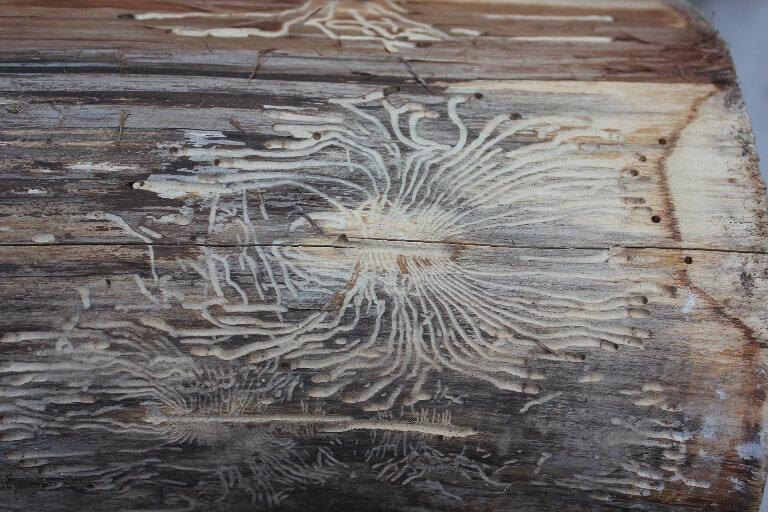 Houtworm voorkomen en behandelen | Xyladecor